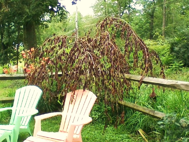 Help My Weeping Cherry Go Gardening And Nature Godubois Com